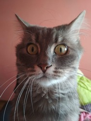 Gray cat face with amazement