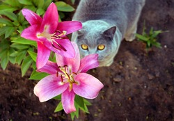 Gray cat in the lily flower garden. The Scottish cat breed loves to walk and eat fresh pink large flowers.