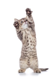 gray cat kitten, breed scottish straight, playing over white background.