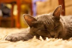 gray cat lying on the carpet