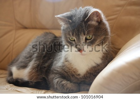 Gray cat lying on the leather sofa