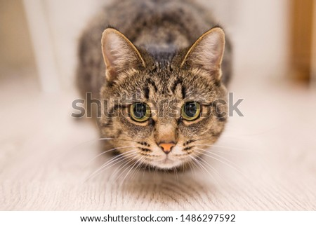 gray cat, mongrel with yellow eyes ,home, looks and hunts and watches closely , looking at the camera