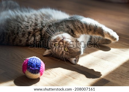 gray cat plays with a toy