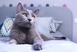 Gray cat relaxing on bed.Russian blue cat at cozy home interior. Pet care, friend of human.