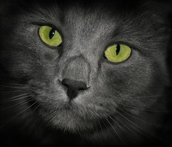 Gray Cat Russian Blue Long Hair with Green Hair Grey Kitten Cute Kitty Photo Digital Image