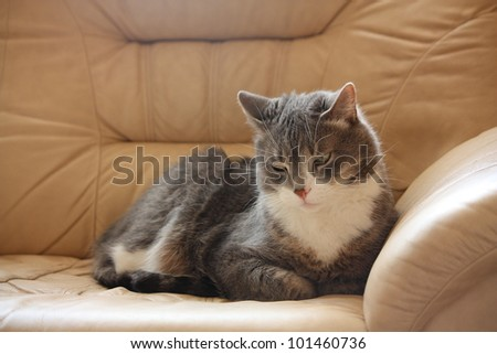 Gray cat taking nap on the brown leather coach