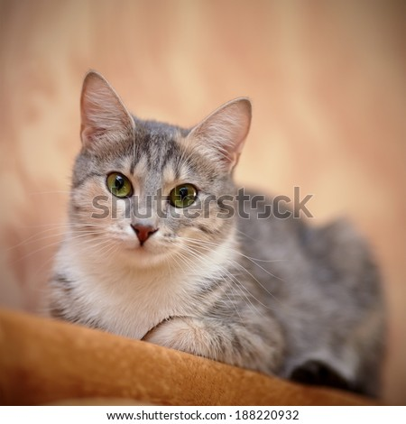 Gray cat with green eyes. Gray cat. Striped not purebred kitten. Small predator. Small cat. #188220932