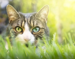 Gray cat with white markings, pink nose and colored eyes in thick grass garden
