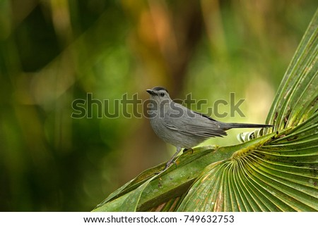 Gray catbird, Dumetella carolinensis, birdwatching in Central America.  Forest animal. Wildlife scene from nature, Belize. Grey bird in the nature habitat. Tanager sitting on the green palm tree. #749632753