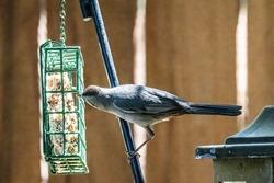 Gray catbird eating suet at a backyard feeder in Taylors Falls, Minnesota USA.