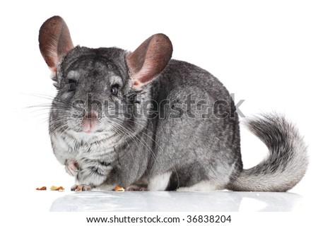 gray chinchilla isolated on white