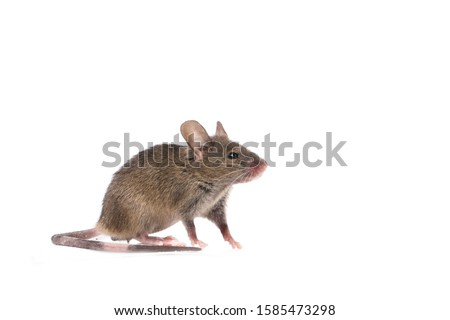 Photo of  Gray common house mouse isolated on white background