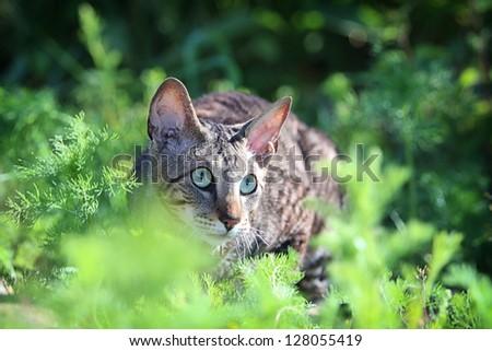 Gray Cornish Rex cat in green grass