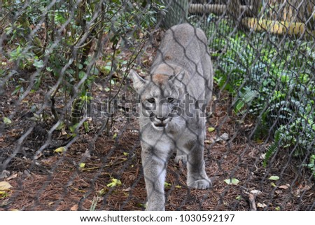 Gray Cougar Behind Wire Fence Coming Towards You With Blue Piercing Eyes 1030592197