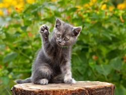 Gray cute kitten pointing up hand or paw. Funny pretty kitten sitting & voting hand in election by rising up paw. Animal vote - little kitten in summer nature play hand paw up. Lovely gray cat kitty