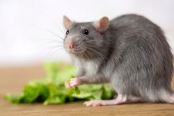 Gray cute rodent looks at the camera, holds a leaf of lettuce in its paws.