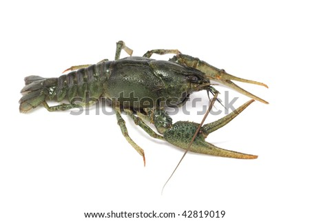 gray, delicious, alive crayfish creepse on a white background with wide apart claws