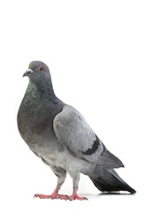 gray dove  on a white background