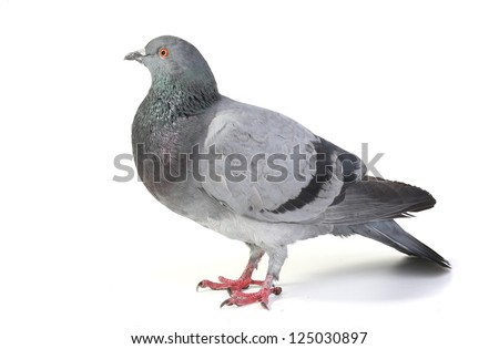 gray dove  on a white background - stock photo
