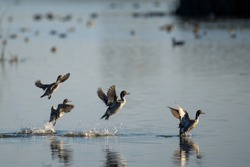 Gray ducks flying from calm transparent lake on blurred background of many birds floating inwater