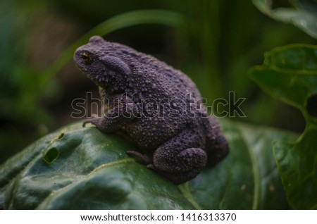 gray earth toad sitting on a cabbage leaf on a farm. Common toad, Bufo bufo, European toad, or simply the toad.