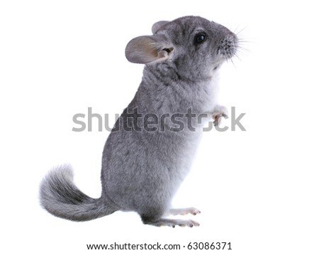 Gray ebonite chinchilla on white background. Isoltaed