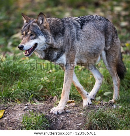 Gray/Eurasian wolf (Canis lupus) Сток-фото ©