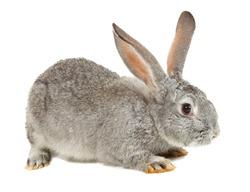 Gray European Rabbit sitting on white background