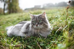 Gray fluffy cat lying on a green lawn outside. Siberian cat having a rest outdoors.
