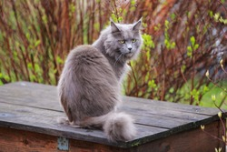 Gray fluffy maine coon cat sits outside on a box in spring