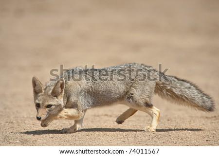 Gray Fox (Dusicyon griseus) in Talampaya, San Juan, Argentina. Talampaya was declared UNESCO World Heritage Site - stock photo