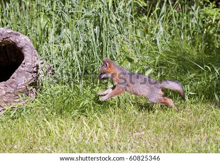 Gray Fox (Urocyon cinereoargenteus) kit runs and chases imaginary prey as it plays in the forest.