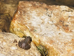 Gray frog, toad is basking on a stone.