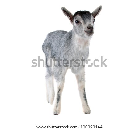 gray goat isolated on white background