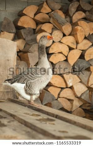 Gray goose near the firewood  #1165533319