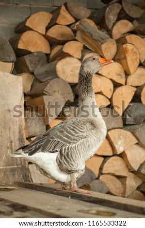 Gray goose near the firewood  #1165533322