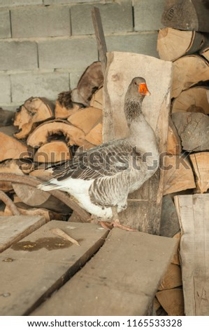 Gray goose near the firewood #1165533328