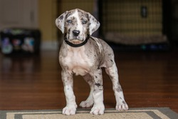Gray Great Dane Puppy Dog