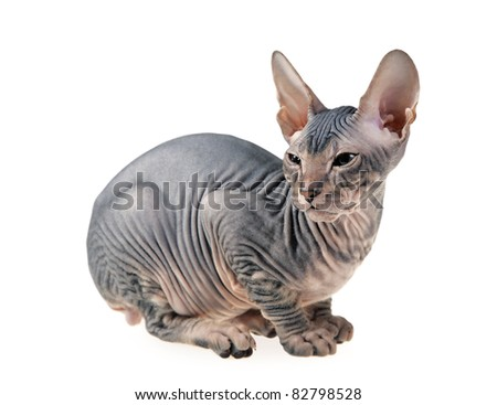 gray hairless kitten isolated on white background