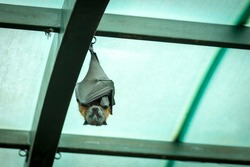 Gray-headed flying fox hangs upside down, with a glass ceiling and metal beams in the background