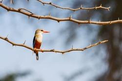 Gray-Headed Kingfisher, Halcyon Leucocephala, Sitting on thorny Acacia tree branch, Kenya, Africa