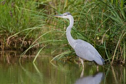 Gray heron (Ardea cinerea),photo of this big gray wading bird in his natural habitat, bird standing in water, background consist of wall of green reed, heron searching for some fish for meal,Slovakia