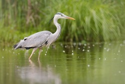 Gray heron (Ardea cinerea), photography of massive gray bird wading through flat lake, with fluffy feathers, large beak, long feathers on back side of head, scene from wild nature. River Váh, Slovakia