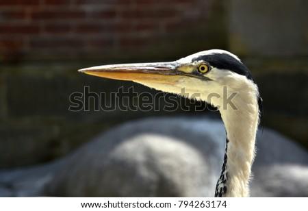 gray heron; grey heron;