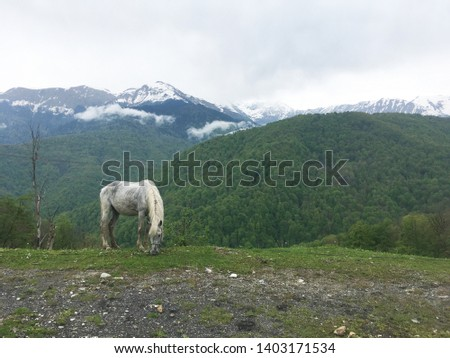 Gray horse grazing on the background of snow-capped mountains of the Caucasus  #1403171534