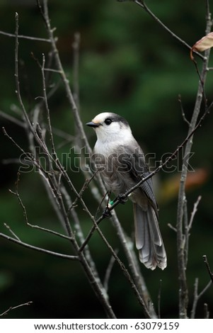 Gray Jay against a blurred background.