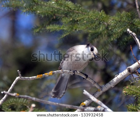 Gray Jay perched on a bare branch