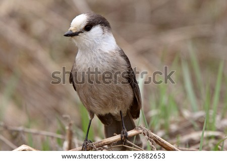 Gray Jay perched on branch in Spring