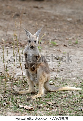 gray kangaroo in chiang mai night safari