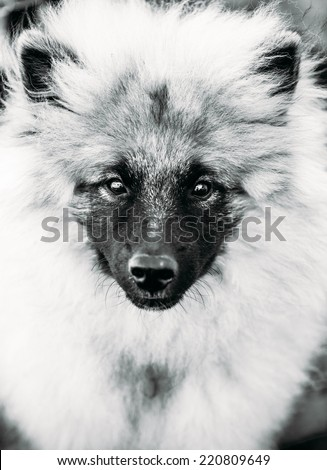 Gray Keeshound, Keeshond, Keeshonden Dog (German Spitz) Wolfspitz Close Up Black And White Portrait #220809649